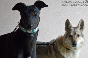 dog4president_collari per cani cruelty free